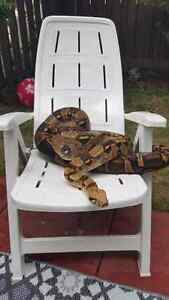female red tail boa Kitchener / Waterloo Kitchener Area image 1