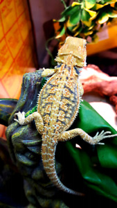 Beautiful bearded dragon babies available