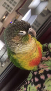 VERY FRIENDLY CONURE PAIR FOR SALE
