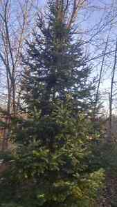 Christmas tree, live, delivered with stand $100