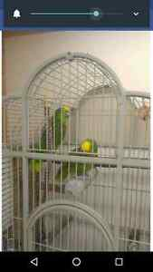 Breeding pair of yellow fronted Amazons (price reduced)