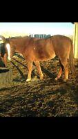 Papered heel horse gelding