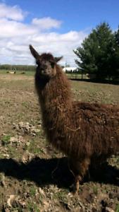 Recherche Lamas
