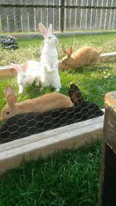 New Zealand rabbits for sale reds,whites,a black