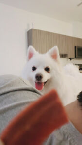 Japanese spitz looking for a new home