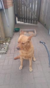 Found Male Dog