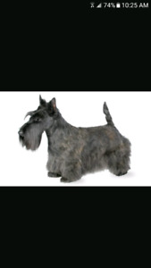 ISO: SCOTTISH TERRIERS