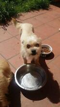 dog relocation maltese chiwhawha Ashfield Ashfield Area Preview