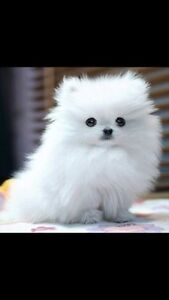 Looking for a white female toy Pomeranian(under 6lbs)