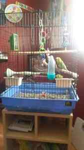 1 blue female budgie and 1 green female budgie with cage