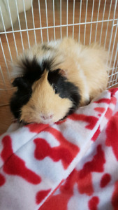 2 Female Guinea  pigs/ complete with accsesarys