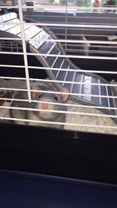 Two male rats and cage- FREE to a good home!