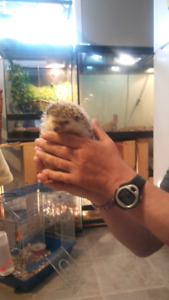 Hedgehog for sale cage not included female