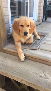 10 month old Golden Retriever for sale!