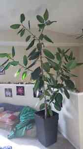 Huge Rubber tree for sale