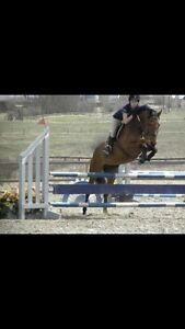 Flashy Warmblood Mare For Lease