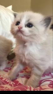 Cute Bicolour Kittens