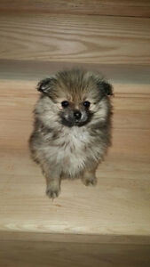 TINY POMERANIAN PUPPIES - ONE MALE LEFT