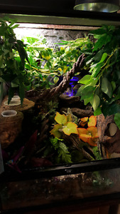 Crested Gecko, Exoterra terrarium and tons of accessories