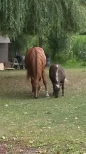 Looking for a Mini Horse for a buddy