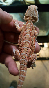 Hypo  german giant Bearded dragon babies