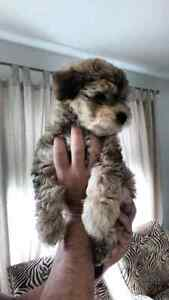 Morkie Toy puppy looking for a new family.