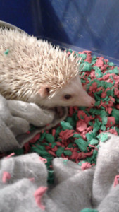 1 1/2 Old Albino Male Hedgehog With Cage & Accessories