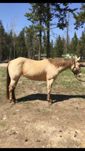 Champagne QH Mare For Sale
