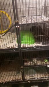 Large Cage with Chinchillas