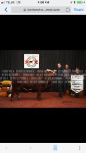 Full Fleck Simmental Bull