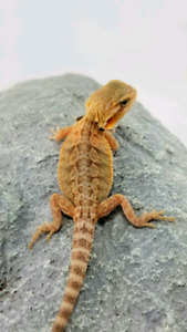 Bearded Dragons   Adopt or Rehome Pets in British Columbia