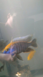 80 gal african cichilds reduced