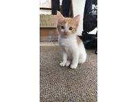 2 Ginger White kittens