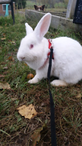 One male bunny GOOD HOME ONLY