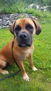 Boerboel for re-homing
