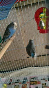 Beautiful Young Budgies- Only $20!!!