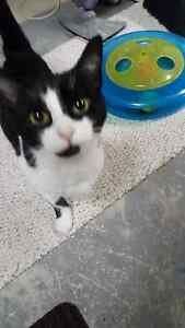Found Female Cat - Black and White Shorthair London Ontario image 1