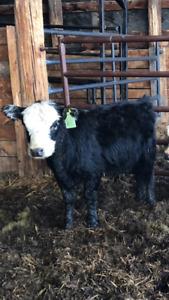 Miniature Heifer for sale