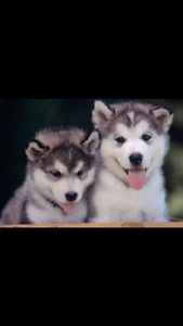 Looking for a Siberian husky puppy