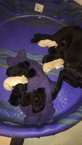 All 3 color labs pups forsale