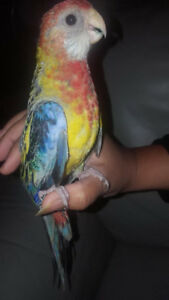 ❤️⭐❤️Baby⭐Rosella with Cage❤️⭐❤️
