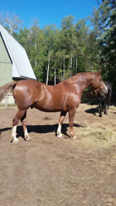 Lovely Belgian Cross (draft)  gelding for sale. 17 hh and 12 yrs