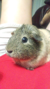 Guinea Pigs looking for a wonderful home