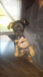 Female puppy for sale