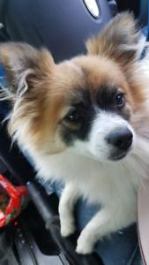 Pomeranian (pomchi) chihuahua