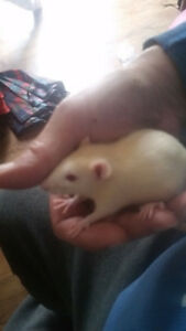 DUMBO AND FANCY RATS FOR SALE 10 AND $18 CREAMS $20 647-708-7472
