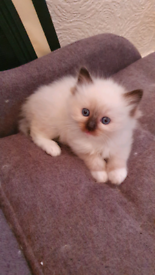 Beautiful and adorable ragdoll kittens