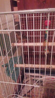 Nice Male Canary for Sale