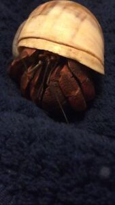 One large hermit crab with bowls, food, tank, and shells