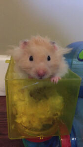 Hamster For Sale, Everything Included
